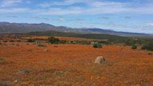 Wildflowers in Namaqua National Park